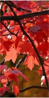 Autumn Blaze Red Maple leaves
