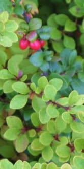 Green Barberry