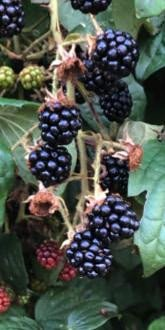 Wild Blackberries in August