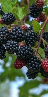 Loch Tay Blackberries