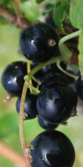 Big Ben Blackcurrants close up