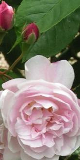 Rosa Blush Noisette flower