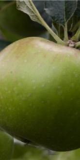 Unripe Bramley Cooking Apple