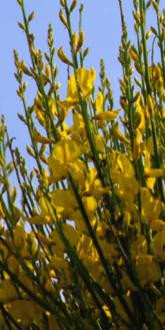 Broom in Flower
