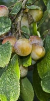 Prunus insititia Shepherds Bullace