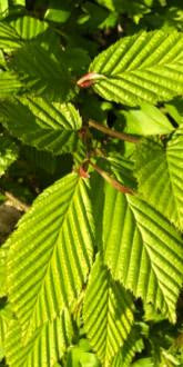 Hornbeam foliage in late spring
