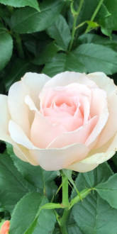 Chandos Beauty - Hybrid Tea Rose