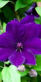 Clematis Jackmanii purple flower