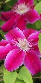Clematis Dr Ruppell