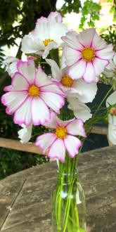 Candystripe Cosmos Flowers