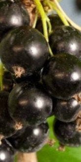 Ben Connan Blackcurrants close up