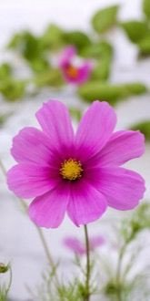 Cosmos Sensation Pinkie flower