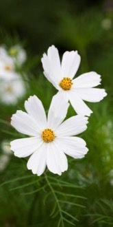 Cosmos Purity Flowers