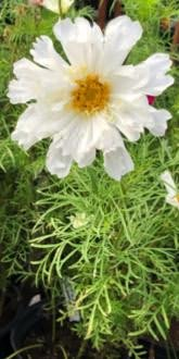 White Cosmos Double Click Snow Puff