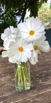 Sonata White Cosmos flowers in a vase