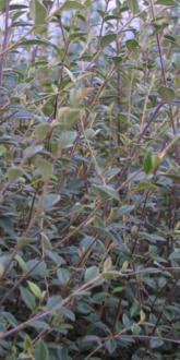 Cotoneaster franchetii plants for Sale