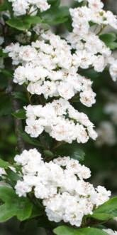 Crataegus laevigata Plena flowers