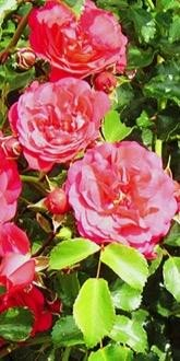 Crimson Showers Rambling Rose