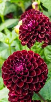 Dark Spirit Dahlias