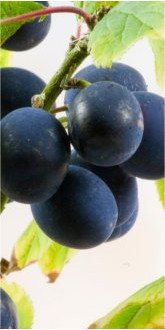 Shropshire Prune Damsons on the tree close up