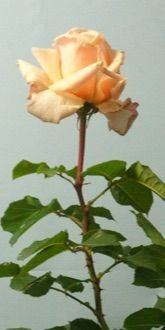 Hybrid Tea Rose - Diamond Jubilee