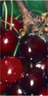 Early Rivers cherries close up