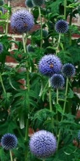 Small globe thistle flowers