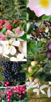 Elspeth's Edible Hedge Mix