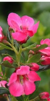 Peach Blossom - Escallonia