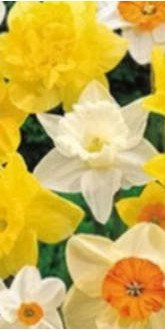 Daffodil Collection - Exotic Bulbs
