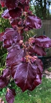 Copper beech - newly opened foliage in April