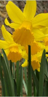 February Gold Daffodil Bulbs