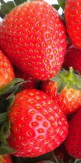 Fenella Strawberry Plants for Sale