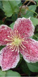 Winter Flowering Clematis - Freckles