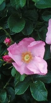 Fru Dagmar Hastrup - Shrub Rose