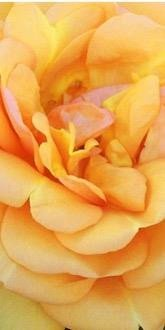 Golden Beauty Roses