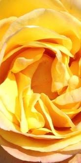 Golden Jubilee Rose