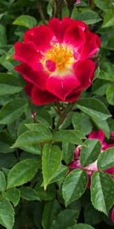 Floribunda Rose - Greetings