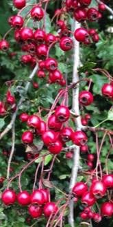 Hawthorn Hedging Pack - Berries in Autumn