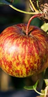 Herefordshire Redstreak Apple