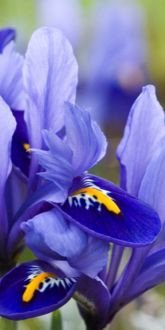 Carolina Reticulated Iris
