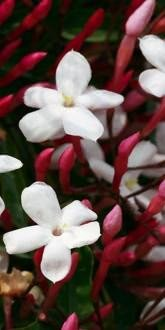 Many flowered Jasmine flowers