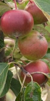 Jupiter Apples