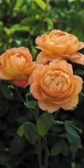 Lady of Shalott Roses