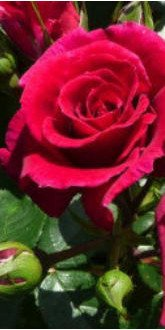 Lovestruck Floribunda Rose
