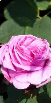 Madame Isaac Pereire - Shrub Rose