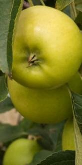 Greensleeves Apples