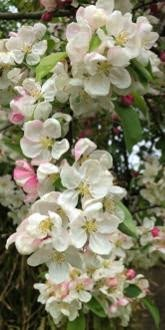 Evereste Crab Apple tree blossom