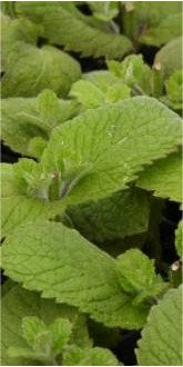 Apple Mint Plants