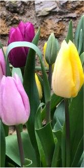 Early Flowering Tulip Bulbs